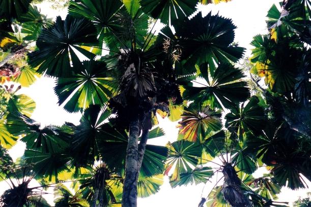 05-30-1998 04 licuala palms mission beach.jpg