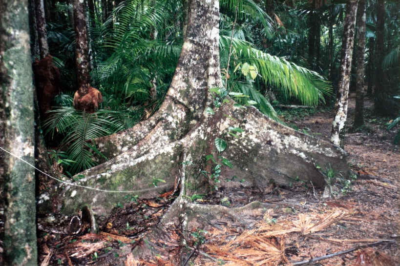 05-30-1998 05 rainforest tree buttresses.jpg