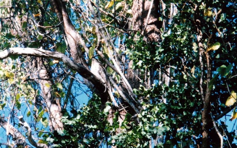 07-08-1998-01-papuan-frogmouth-kalpowar