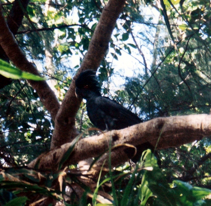 08-21-1998 03 palm cockatoo too.jpg