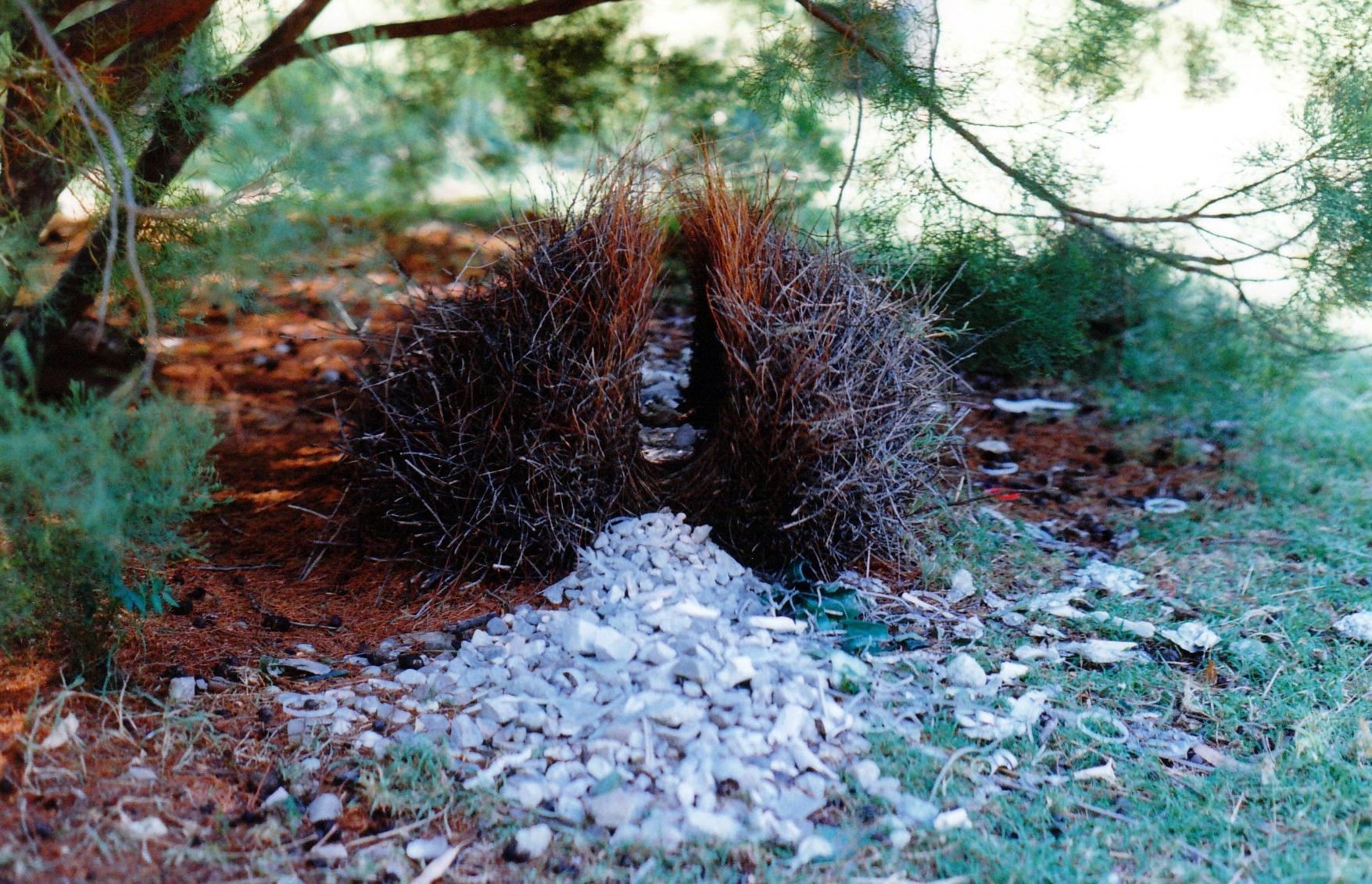 10-09-1998 03 great bower bird bower diggers rest.jpg
