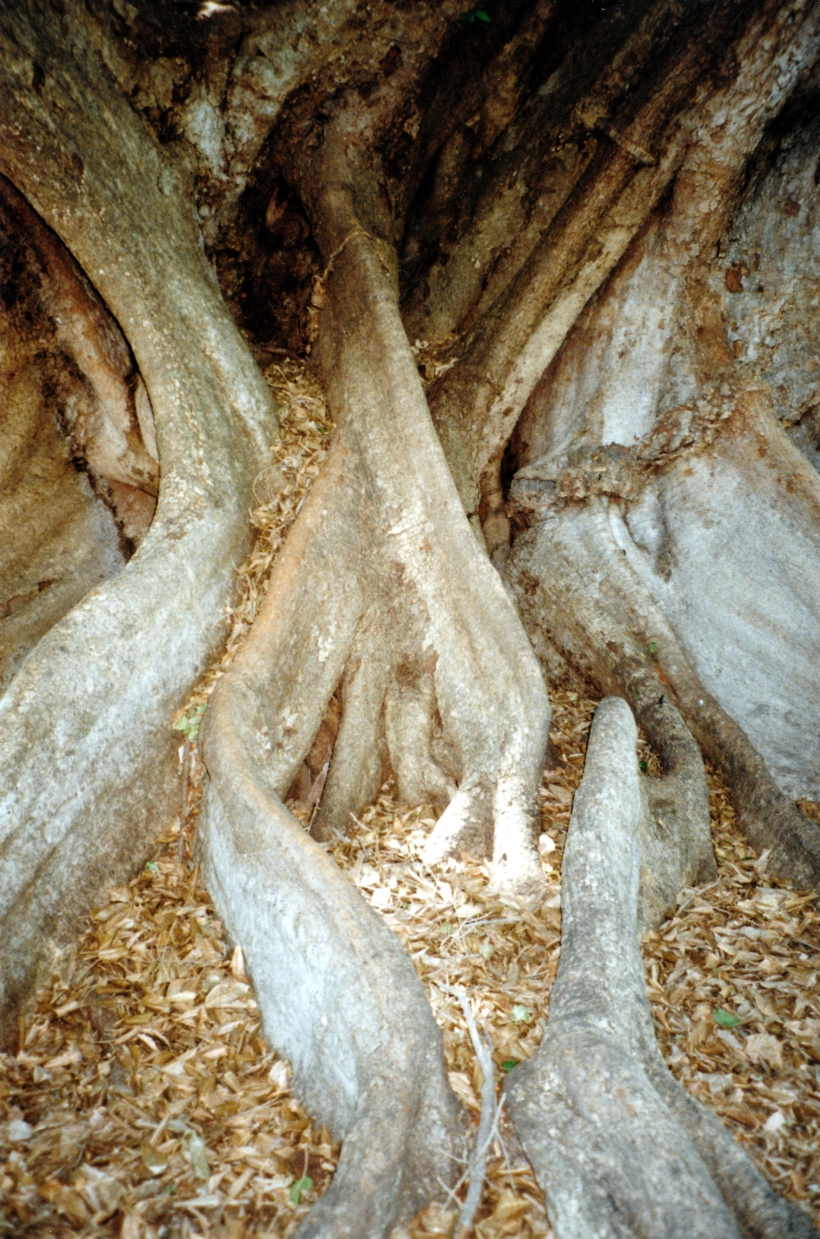 10-13-1998 04 Whitewater the old figs roots.jpg