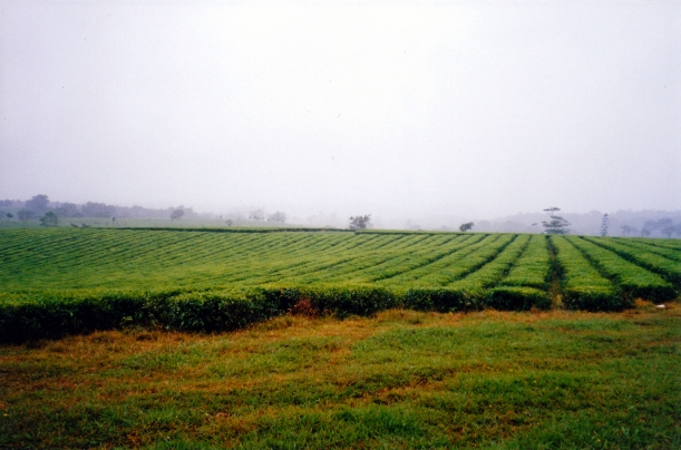 11-06-1998 01 Nerada tea plantation near Topaz.jpg