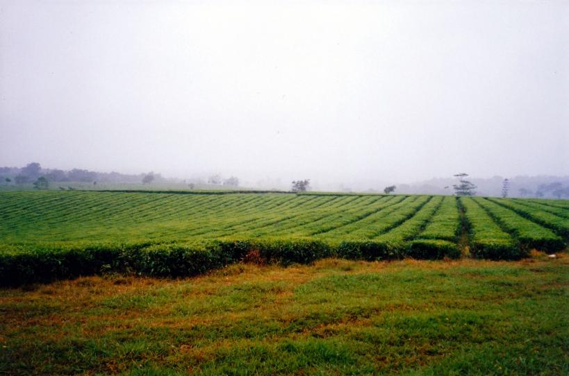 11-06-1998 01 Nerada tea plantation near Topaz.jpg