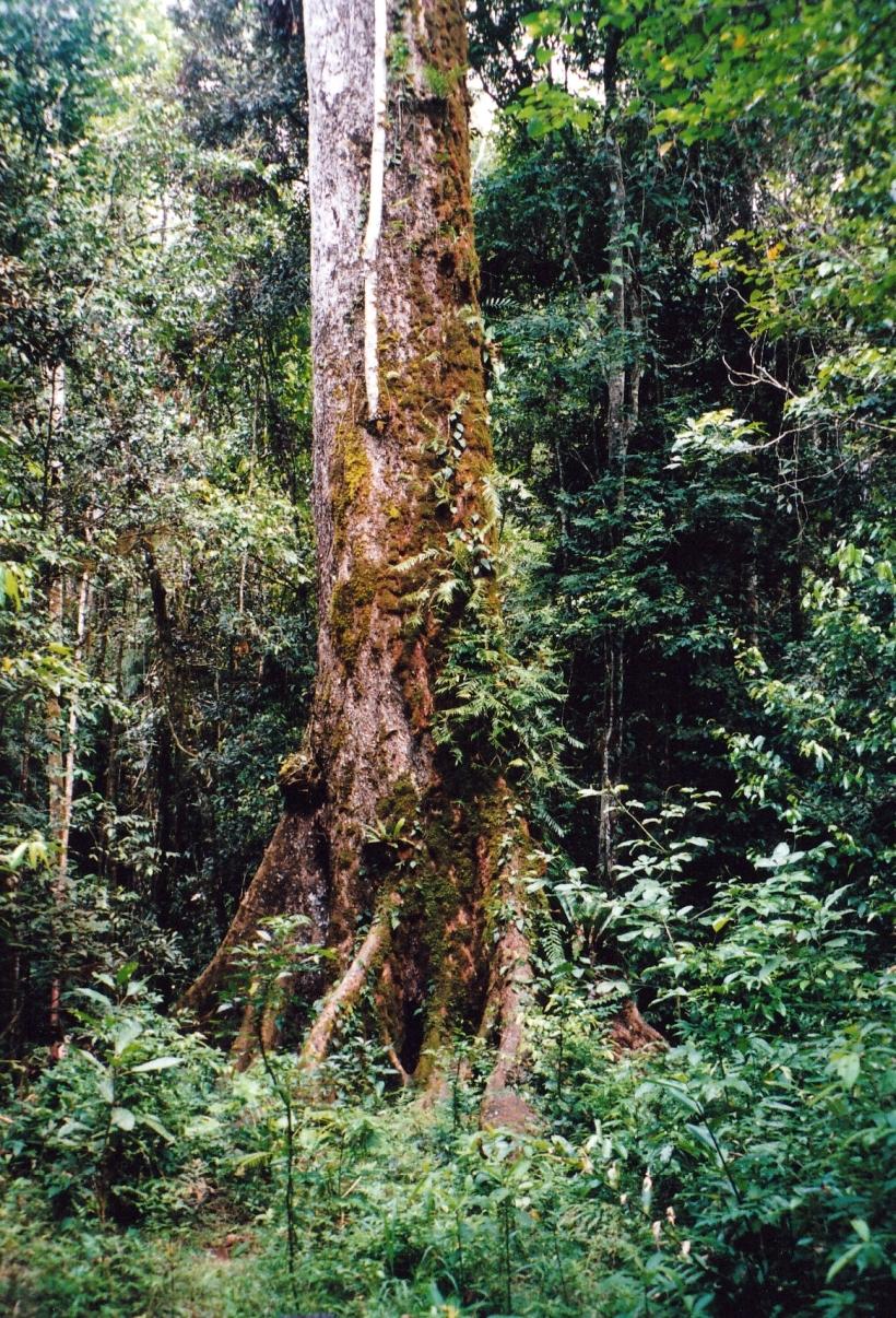 11-06-1998 02 old red cedar tree near Lake Eacham.jpg