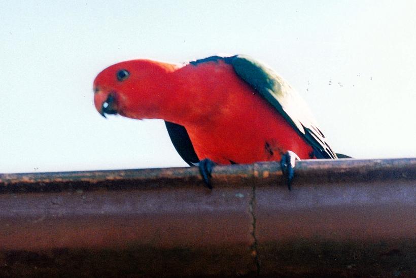 01-07-1999 Dandabah parrot.jpg
