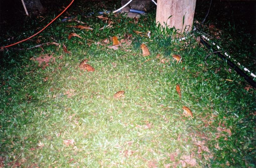 11-26-1998 cane toads in lamp light.jpg