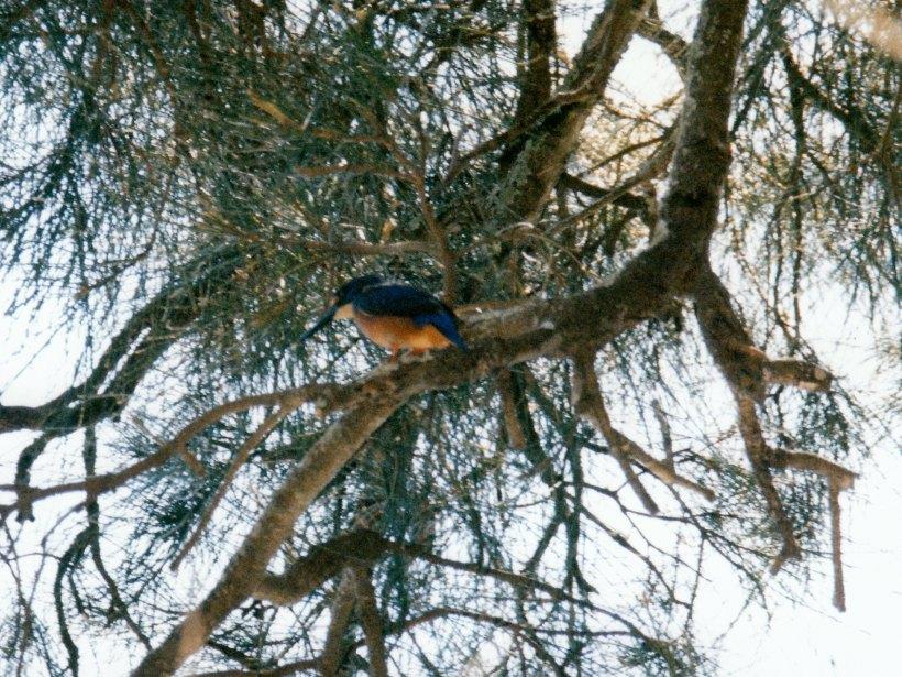 03-04-1999 kingfisher mungo brush.jpg