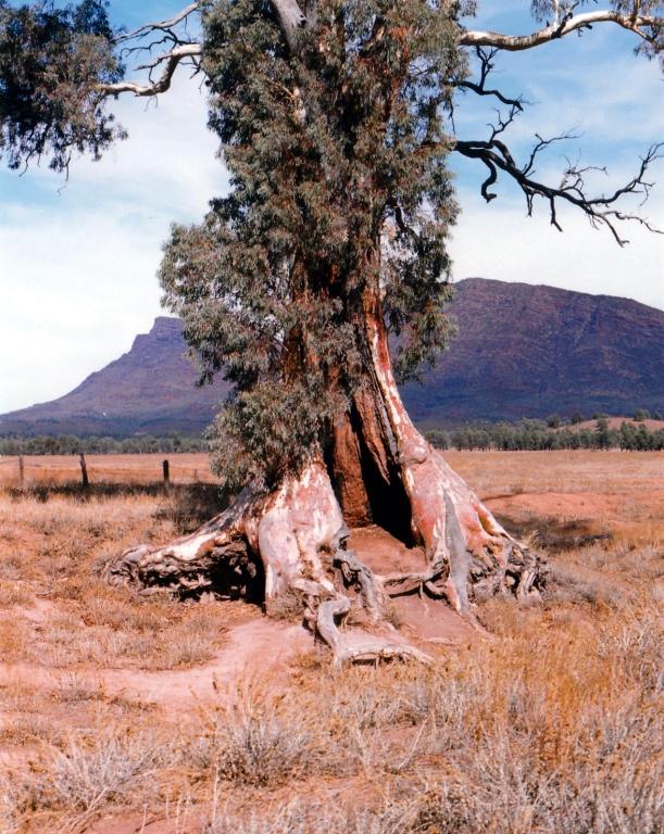 05-07-1999 01 cazneux tree spirit of endurance