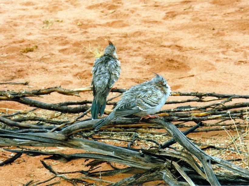 06-05-1999 wet crested pigeons.jpg