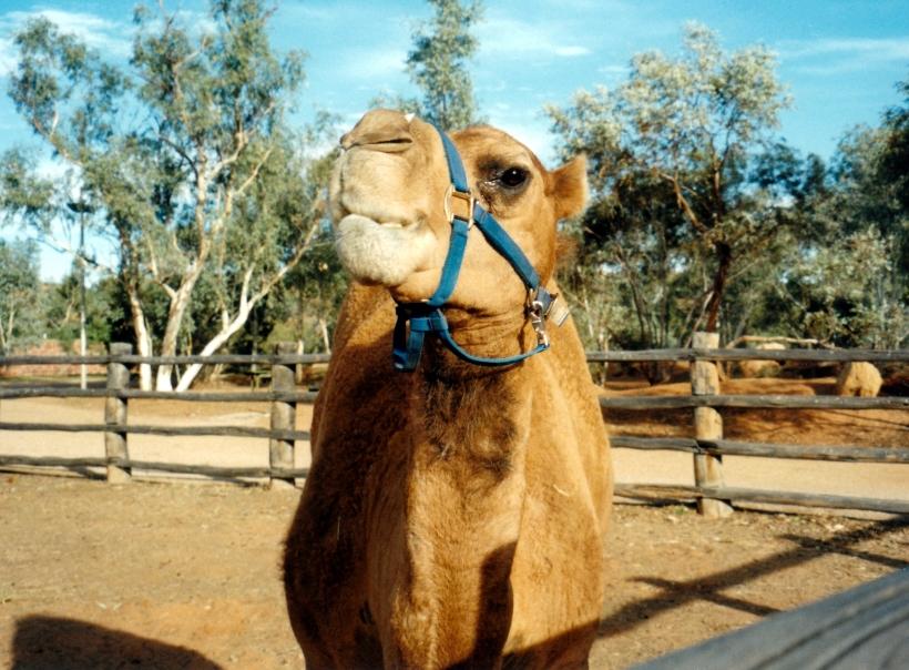 07-01-1999 01 camel.jpg