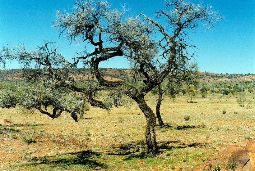07-19-1999 03 corkwood tree