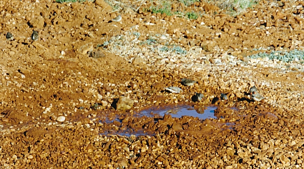 07-21-1999 01 zebra finches in fossicking water.jpg