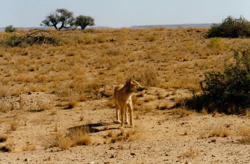 08-15-1999 04 dingo near dlahousie