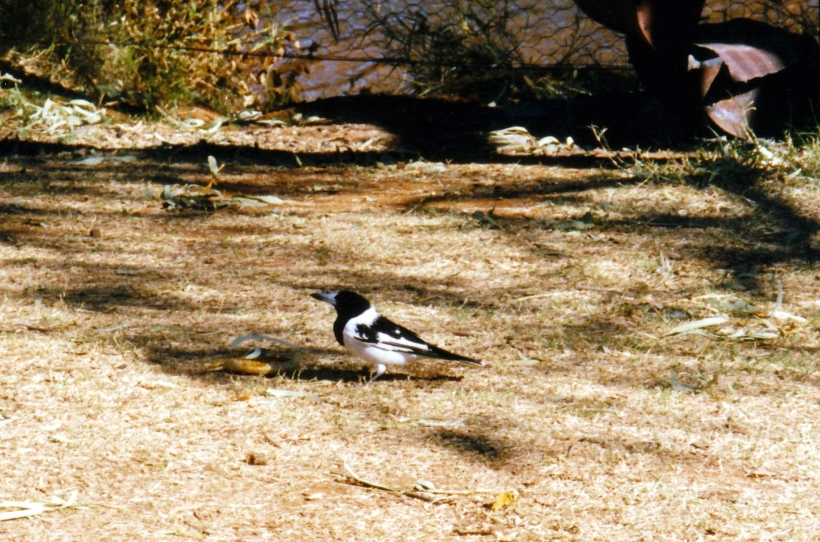 08-22-1999 02  butcherbird.jpg