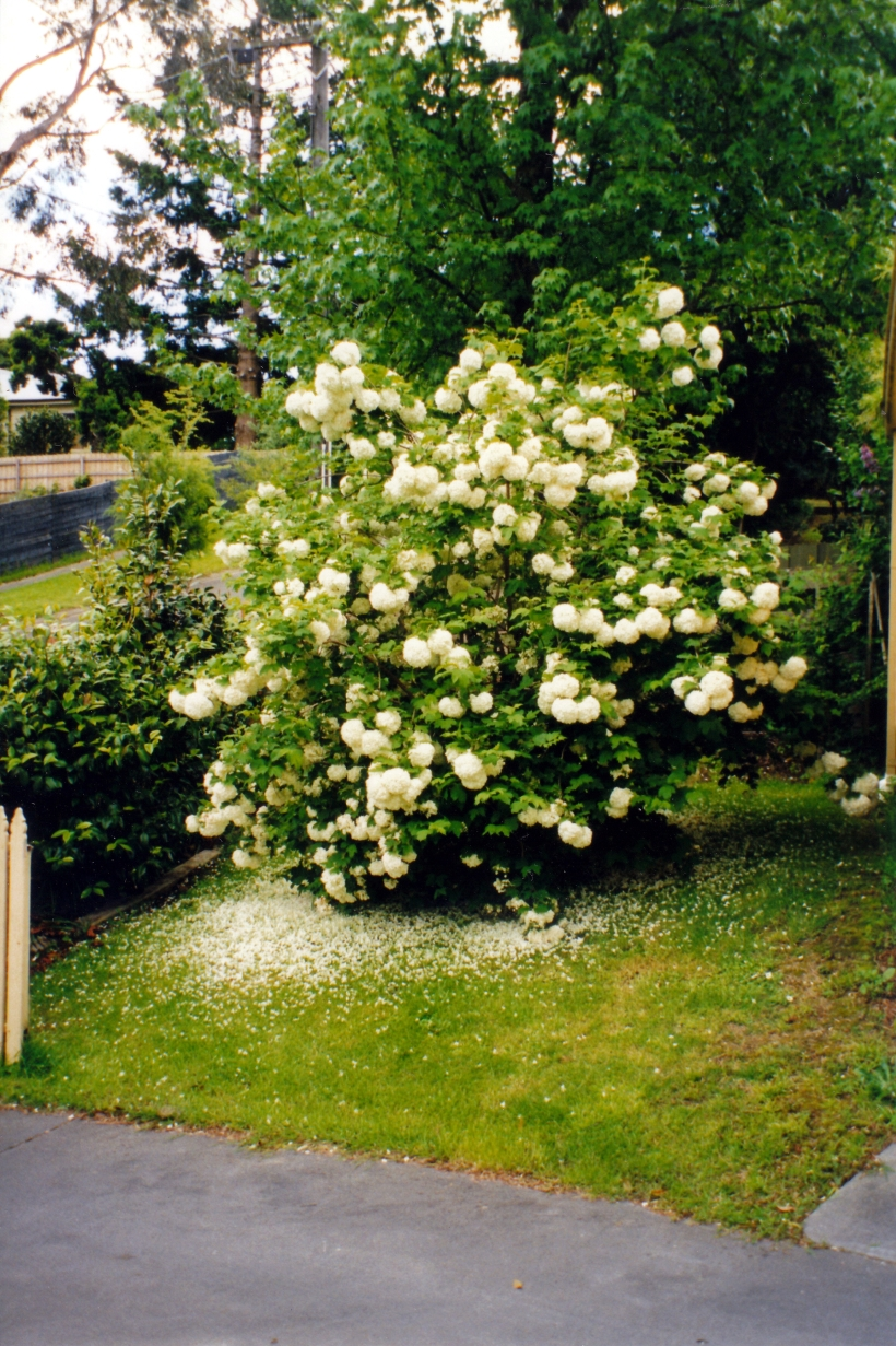 10-19-1999 dad's snowball tree.jpg