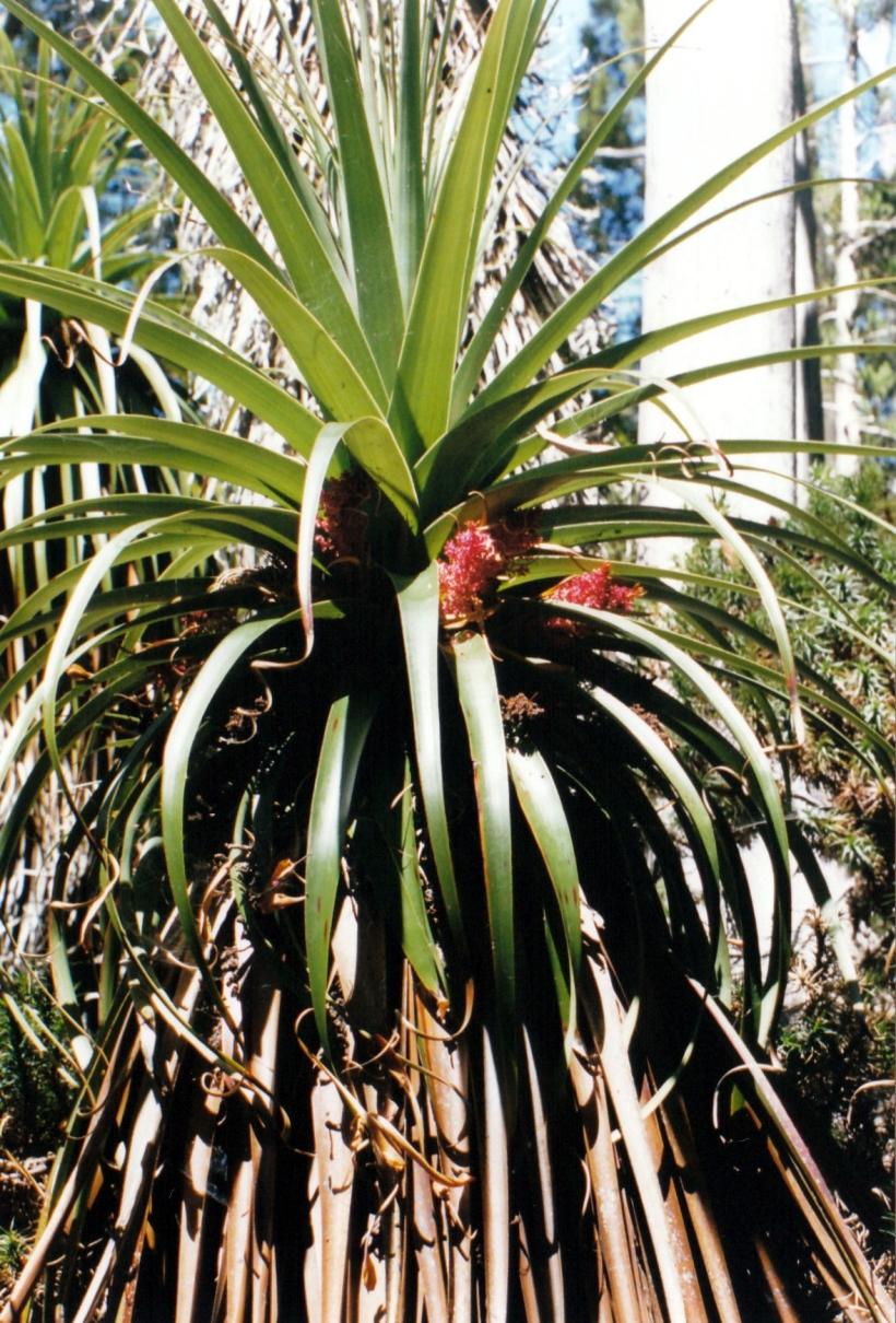 01-13-2000 lake dobson pandanus.jpg