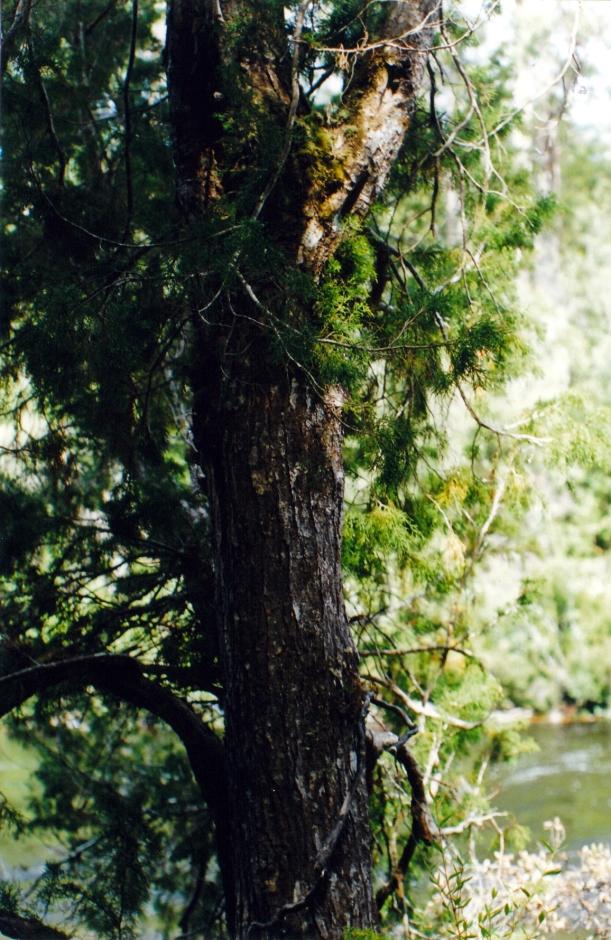 01-24-2000 huon pine.jpg