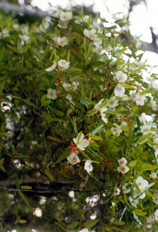 01-24-2000 leatherwood flowers