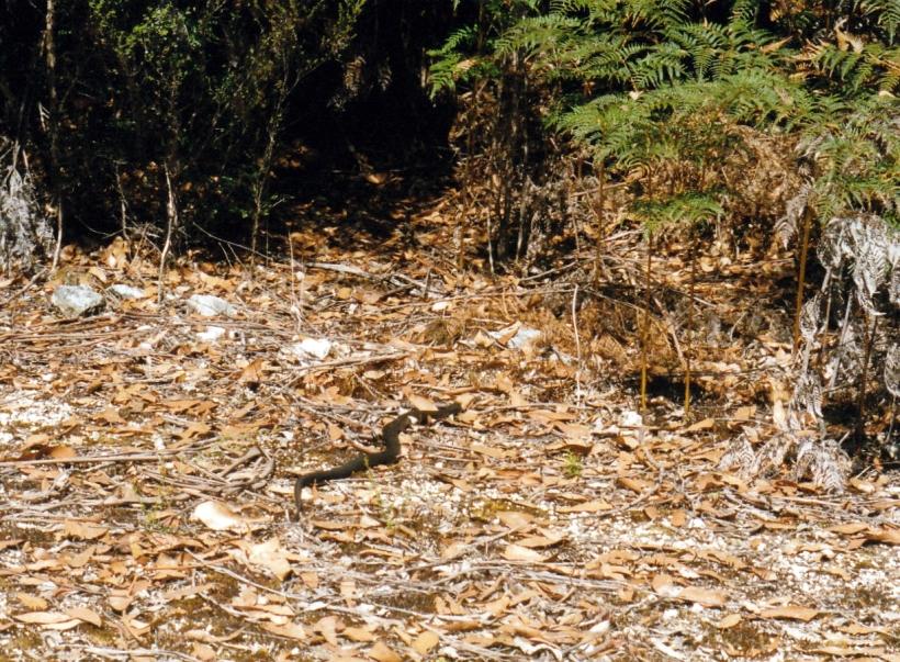 02-19-2000 05 tiger snake.jpg