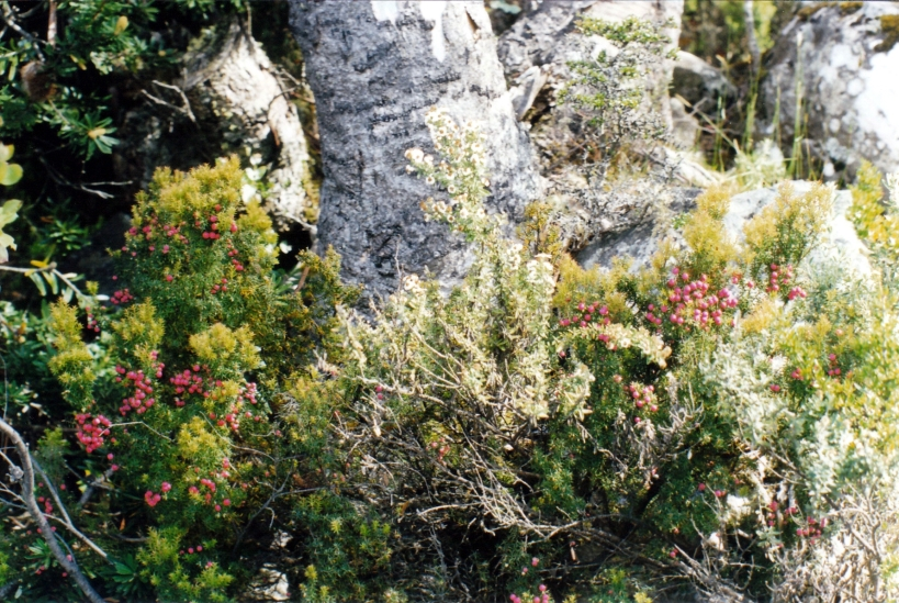 12-24-1999 alpine bush mt wellington.jpg