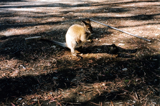 02-24-2000 crow vs wallaby.jpg