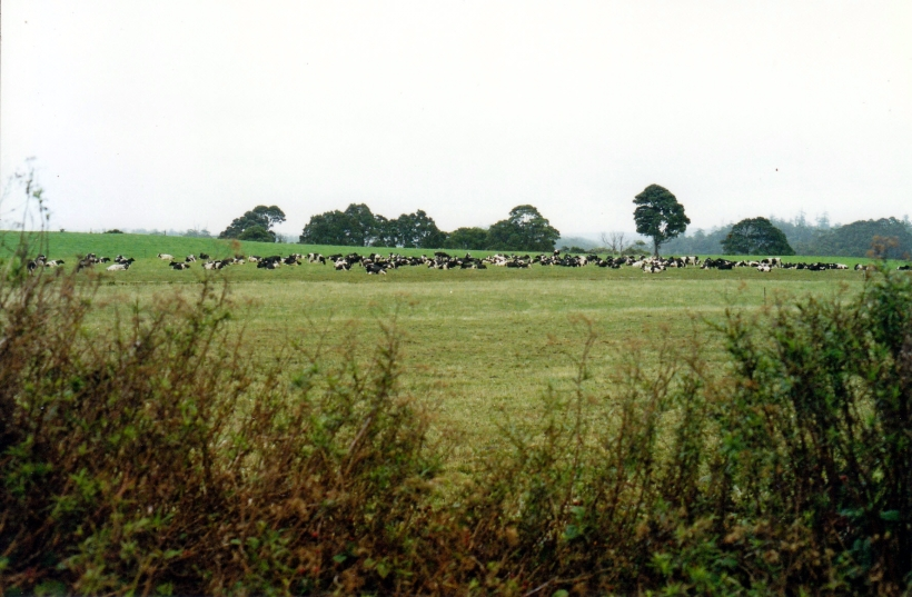 03-15-2000 dairy cattle nth coast.jpg