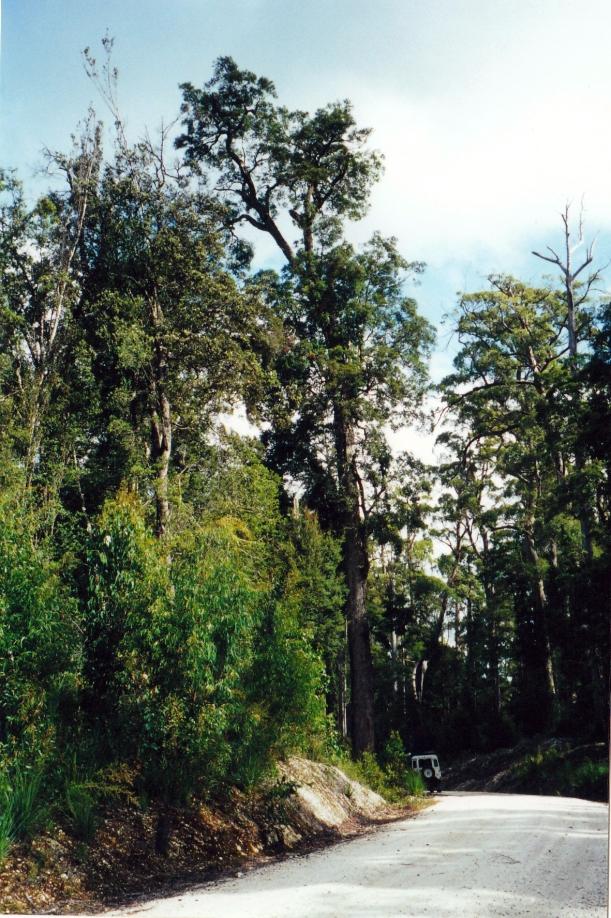 03-20-2000 05 big tree balfour tk