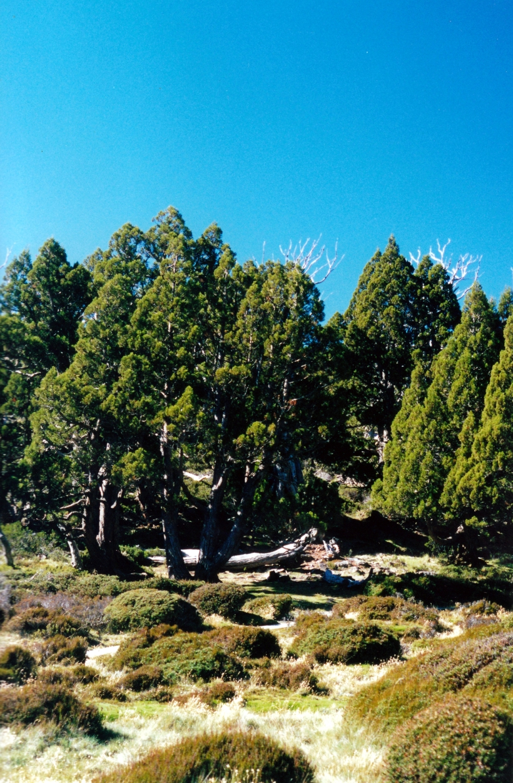 04-07-2000 10 pencil pine scene.jpg