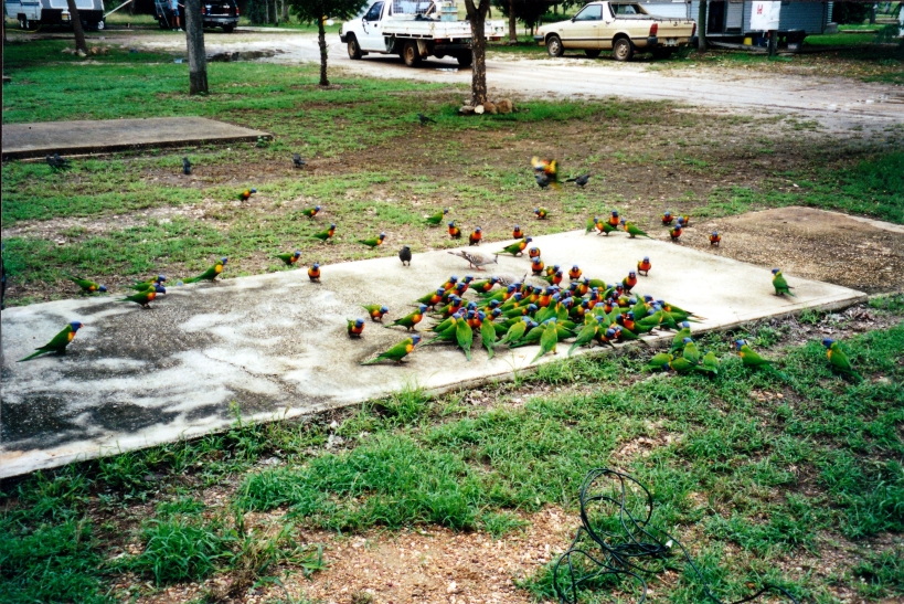 05-05-2000 rainbow lorikeets Rubyvale.jpg