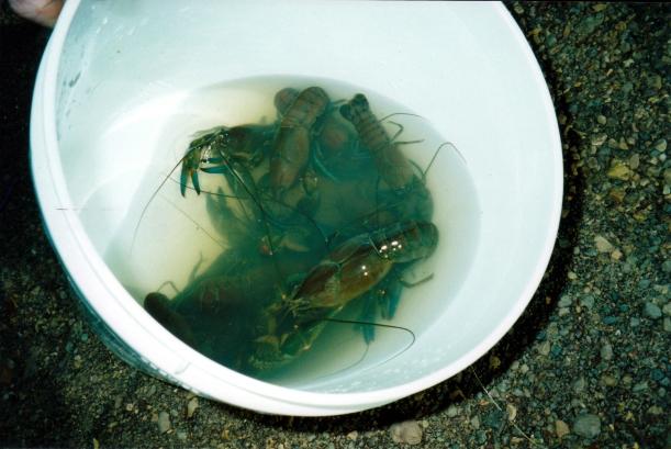 05-28-2000 Opalton yabby catch.jpg