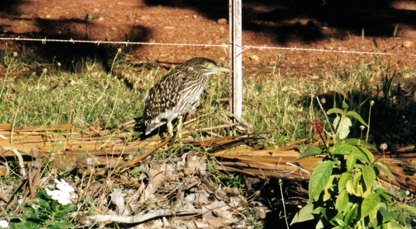 06-19-2000 bush thick knee dunmurra