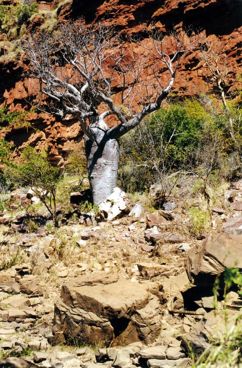 06-25-2000 03 boab and rock Keep R Gorge.jpg