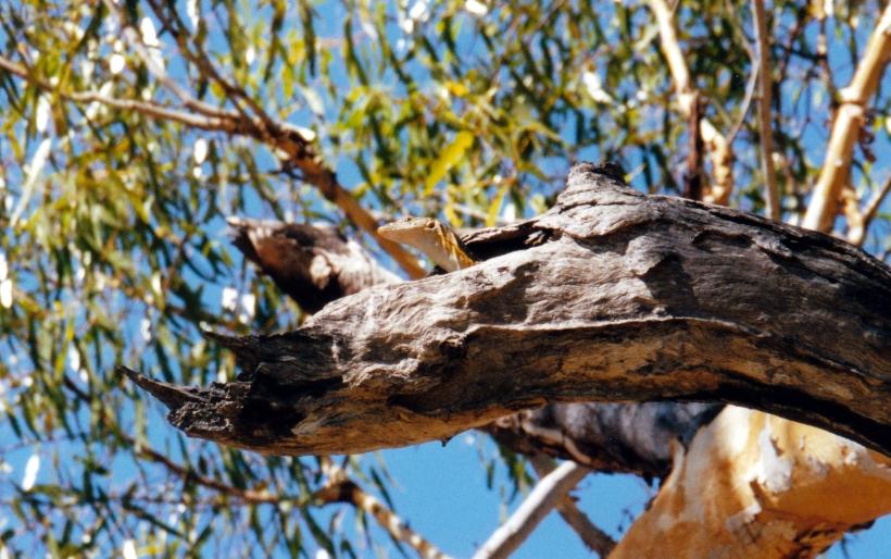 07-29-2000 reptile in tree.jpg