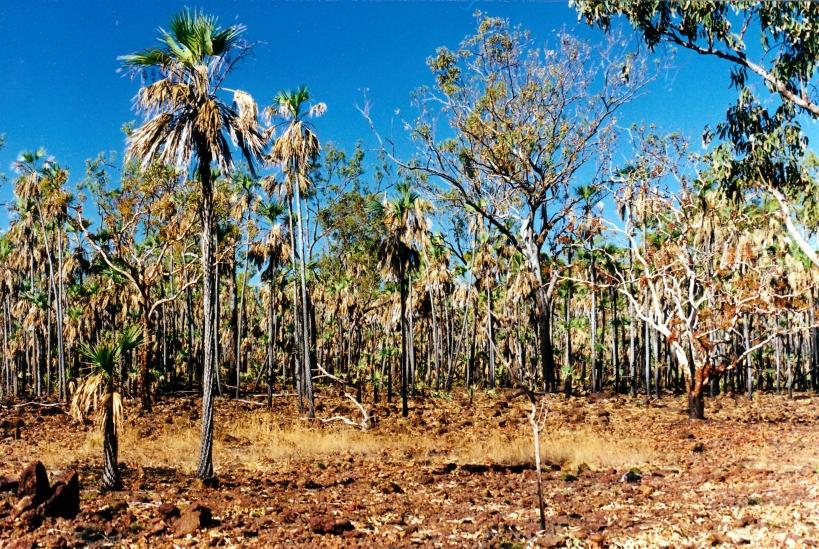 08-05-2000 03 Mitchell plateau burnt Livistonia palms.jpg