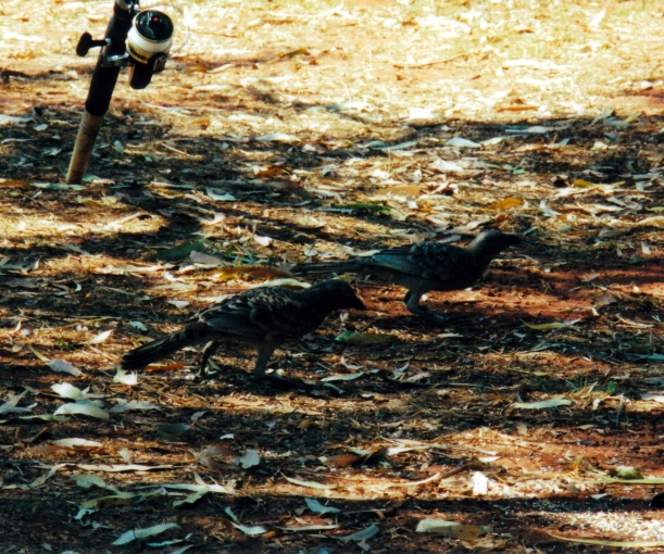 09-04-2000 03 bower birds.jpg