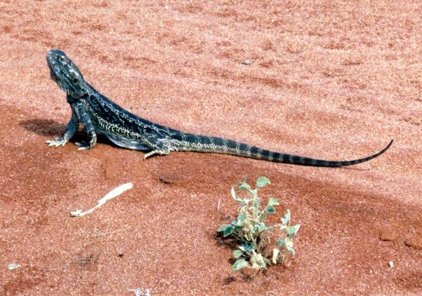 09-29-2001 reptile yowah.jpg