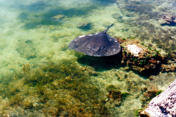 12-09-2000 02 The Ledge stingray.jpg
