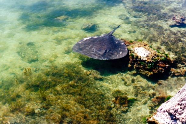 12-09-2000 02 The Ledge stingray.jpg
