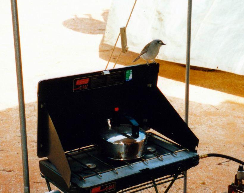 Resize of 05-17-2002 grey shrike thrush.jpg