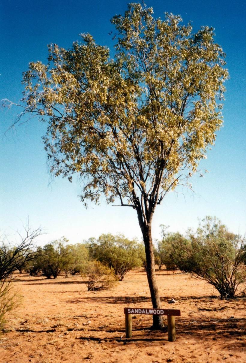 Resize of 05-28-2002 sandalwood.jpg