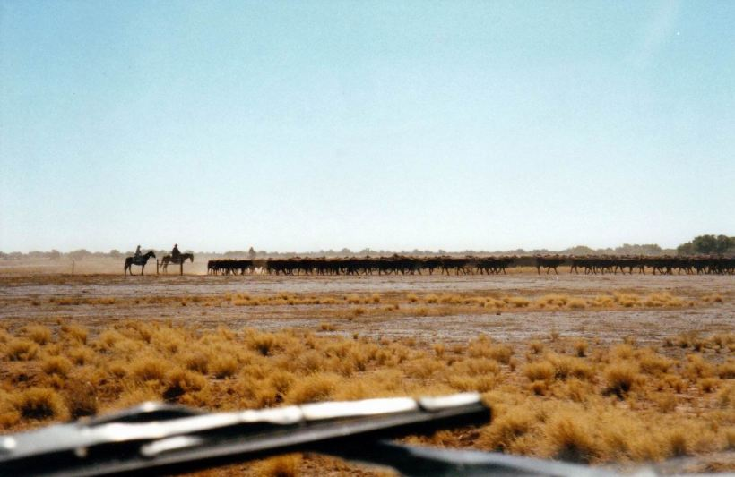 Resize of 06-03-2002 02 cattle muster on Canary Station