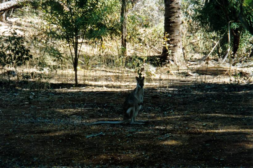 Resize of 07-07-2002 01 agile wallaby in Grove.jpg