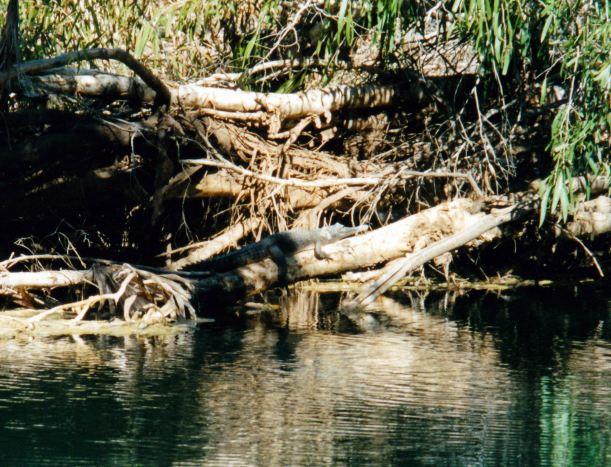 Resize of 07-20-2002 03 freshie croc Adels