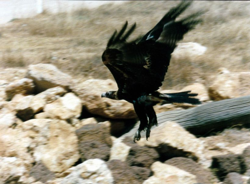 Resize of 09-08-2002 15 wedge tailed eagle near Escott.jpg