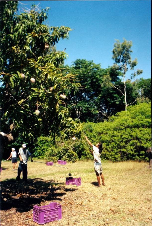 Resize of 11-11-2002 01 picking mangoes Giru.jpg