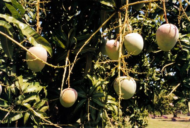 Resize of 11-11-2002 02 ripe mangoes Giru