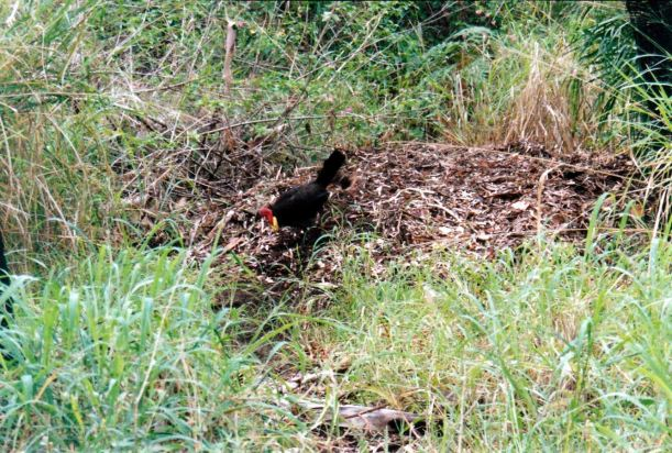 Resize of 12-11-2002 08 bush turkey at work 1770.jpg