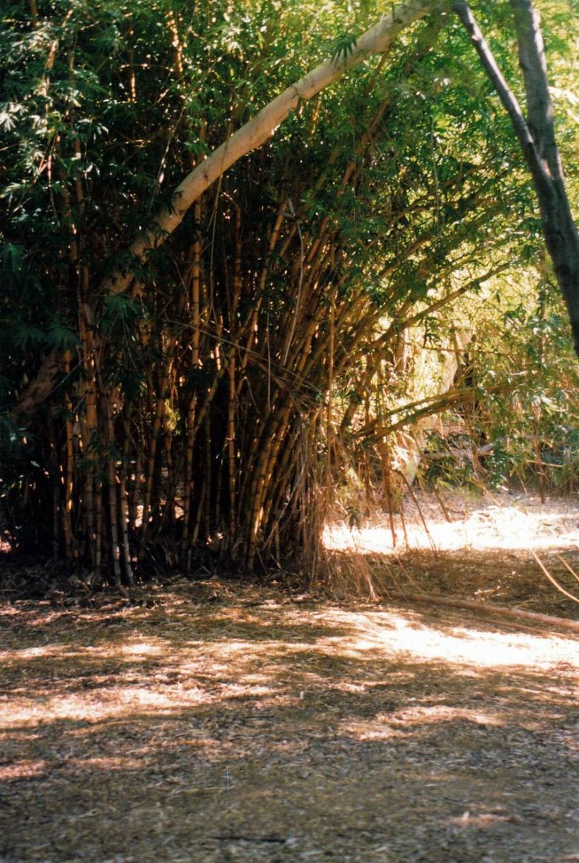 Resize of 06-01-2003 05 bamboo clump in Grove