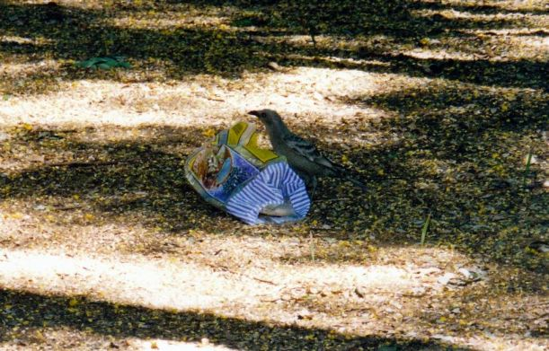 Resize of 06-02-2003 01 scavenging Great Bowerbird.jpg